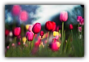 instant tulipán werkfilm