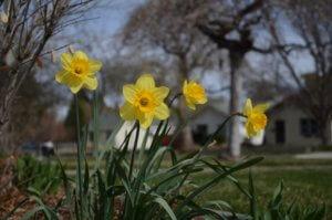 Nárcisz, a tavasz kedves hírnöke