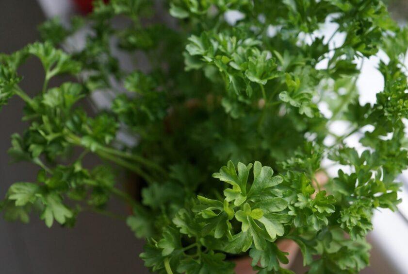 Hogyan főzzük a petrezselymet a prosztatitishez gyógyíthatja- e a prosztatagyulladást